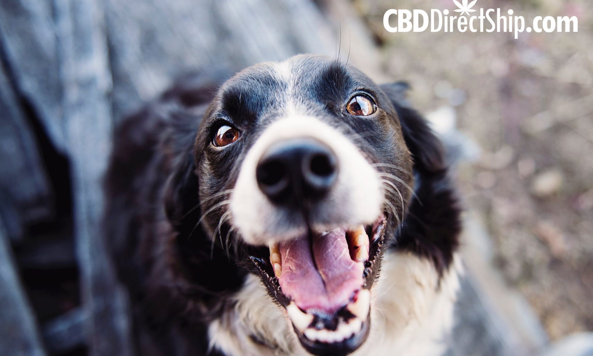 CBD for Dogs and Pets